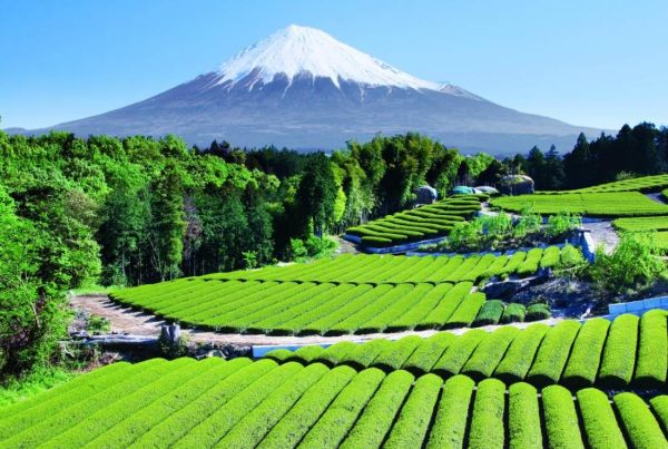 Thee plantage nabij Mount Fuji in Japan