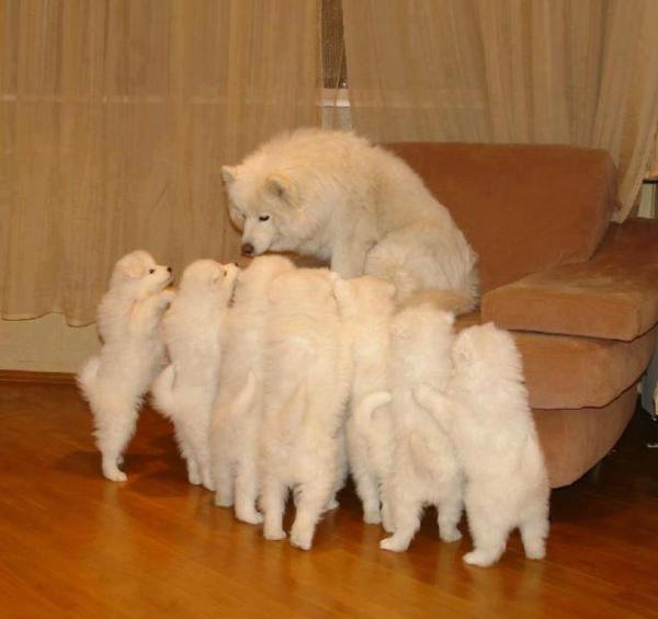Puppies krijgen uitleg van papa hond